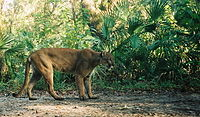 The Florida Panther is the state animal.