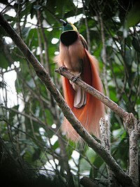 The raggiana bird-of-paradise is native to New Guinea.