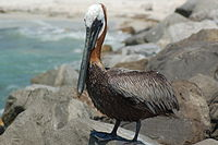 The brown pelican is commonly seen along the Gulf coast