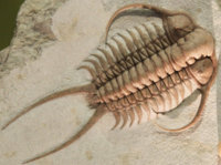 Fossil trilobite. Trilobites first appeared about 521 Ma. They were highly successful and were found everywhere in the ocean for 270 Ma.<ref name=firstlife>{{cite web  url=http://firstlifeseries.com/learn-more/  title=Archived copy  access-date=2011-03-10  url-status=dead  archive-url=https://web.archive.org/web/20110126162514/http://firstlifeseries.com/learn-more/  archive-date=26 January 2011  df=dmy-all }}</ref>