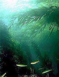 Kelp forests are among the most productive ecosystems on the planet.