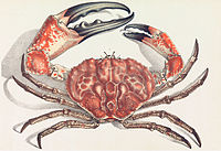 The Tasmanian giant crab is long-lived and slow-growing, making it vulnerable to overfishing.<ref name=Currie2009>{{cite book author=D. R. Currie author2=T. M. Ward name-list-style=amp year=2009 url=http://www.sardi.sa.gov.au/__data/assets/pdf_file/0019/109522/No_345_SA_Giant_Crab_Fishery_Assessment_Report_2007_08Final_Report_published_alias.pdf title=South Australian Giant Crab (Pseudocarcinus gigas) Fishery id=Fishery Assessment Report for PIRSA publisher=South Australian Research and Development Institute access-date=9 December 2013 archive-url=https://web.archive.org/web/20120328121906/http://www.sardi.sa.gov.au/__data/assets/pdf_file/0019/109522/No_345_SA_Giant_Crab_Fishery_Assessment_Report_2007_08Final_Report_published_alias.pdf archive-date=28 March 2012 url-status=dead}}</ref>