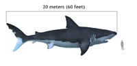 The extinct megalodon resembled a giant great white shark.