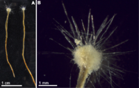 Spiculosiphon oceana, a unicellular foraminiferan with an appearance and lifestyle that mimics a sponge, grows to 5 cm long.
