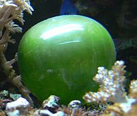 The unicellular bubble algae lives in tidal zones. It can have a 4 cm diameter.<ref>{{cite book  last1=Tunnell  first1=John Wesley  last2=Chávez  first2=Ernesto A.  last3=Withers  first3=Kim  year=2007  title=Coral reefs of the southern Gulf of Mexico  publisher=Texas A&M University Press  isbn=978-1-58544-617-9  page=91  url=https://books.google.com/books?id=tu0sqBp8eAAC&pg=PA91}}</ref>