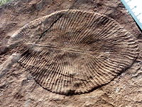 Dickinsonia may be the earliest animal. They appear in the fossil record 571 million to 541 million years ago.