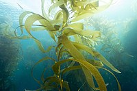 Giant kelp, a brown algae, is not a true plant, yet it is multicellular and can grow to 50m.