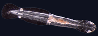 Many marine worms are related only distantly, so they form a number of different phyla. The worm shown is an arrow worm, found worldwide as a predatory component of plankton.