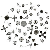Radiolarians come in many shapes.