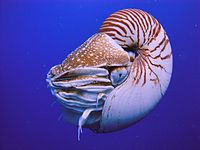 The nautilus is a living fossil little changed since it evolved 500 million years ago as one of the first cephalopods.<ref name=Callaway2008>{{cite magazine url=https://www.newscientist.com/article/dn14033-simpleminded-nautilus-reveals-flash-of-memory.html title=Simple-Minded Nautilus Shows Flash of Memory author=Ewen Callaway date=2 June 2008 magazine=New Scientist access-date=7 March 2012}}</ref><ref name=Phillips2008>{{cite journal title=Living Fossil Memories author=Kathryn Phillips date=15 June 2008 page=iii volume=211 doi=10.1242/jeb.020370 journal=Journal of Experimental Biology issue=12 s2cid=84279320}}</ref><ref name=Crook2008>{{cite journal author1=Robyn Crook author2=Jennifer Basil name-list-style=amp year=2008 title=A biphasic memory curve in the chambered nautilus, Nautilus pompilius L. (Cephalopoda: Nautiloidea) journal=Journal of Experimental Biology volume=211 pages=1992–1998 doi=10.1242/jeb.018531 issue=12 pmid=18515730 s2cid=6305526}}</ref>