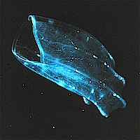 The beroid ctenophore, mouth gaping, preys on other ctenophores.