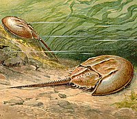 Horseshoe crabs are living fossils, essentially unchanged for 450 Ma.