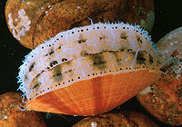 Molluscs usually have eyes. Bordering the edge of the mantle of a scallop, a bivalve mollusc, can be over 100 simple eyes.