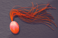 Drawing of another marine thermophile, Pyrococcus furiosus