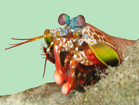 """Mantis shrimp have the most advanced eyes in the animal kingdom,<ref name=Kilday2005>{{cite news url=http://archive.dailycal.org/article/19671/mantis_shrimp_boasts_most_advanced_eyes title=Mantis shrimp boasts most advanced eyes author=Patrick Kilday newspaper=The Daily Californian date=28 September 2005}}</ref> and smash prey by swinging their club-like raptorial claws.<ref name=""""Patek and Caldwell"""">{{cite journal author1=S. N. Patek author2=R. L. Caldwell name-list-style=amp year=2005 journal=Journal of Experimental Biology volume=208 pages=3655–3664 title=Extreme impact and cavitation forces of a biological hammer: strike forces of the peacock mantis shrimp doi=10.1242/jeb.01831 pmid=16169943 issue=19 s2cid=312009}}</ref>"""