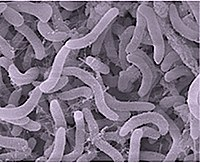 Pelagibacter ubique, the most abundant bacteria in the ocean, plays a major role in the global carbon cycle.