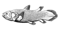 Lobe fins are bedded into the body by bony stalks. They evolved into the legs of the first tetrapod land vertebrates.