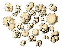 Shells (tests), usually made of calcium carbonate, from a foraminiferal ooze on the deep ocean floor