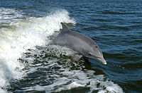 Bottlenose dolphin, which has the highest encephalization of any animal after humans<ref>{{cite journal last=Marino first=Lori title=Cetacean Brain Evolution: Multiplication Generates Complexity journal=International Society for Comparative Psychology issue=17 pages=1–16 year=2004 url=http://www.cogs.indiana.edu/spackled/2005readings/CetaceanBrainEvolution.pdf access-date=15 August 2016 archive-url=https://web.archive.org/web/20180916132752/http://www.cogs.indiana.edu/spackled/2005readings/CetaceanBrainEvolution.pdf archive-date=16 September 2018 url-status=dead}}</ref>