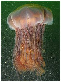 Lion's mane jellyfish, largest known jellyfish<ref>Karleskint G, Richard Turner R and, James Small J (2012) Introduction to Marine Biology Cengage Learning, edition 4, page 445. {{ISBN 9781133364467}}.</ref>