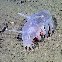 The sea pig, a deep water sea cucumber, is the only echinoderm that uses legged locomotion.