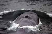 Endangered blue whale, the largest living animal<ref>{{cite web url=http://wwf.panda.org/what_we_do/endangered_species/cetaceans/about/blue_whale/ title=Blue whale publisher=World Wide Fund For Nature access-date=15 August 2016}}</ref>