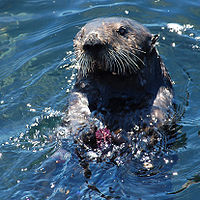 Sea otter, a classic keystone species which controls sea urchin numbers