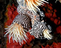Their tentacles sting and paralyse small fish.