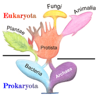 Phylogenetic and symbiogenetic tree of living organisms, showing a view of the origins of eukaryotes and prokaryotes
