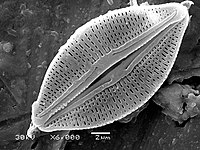 Diatoms have glass like cell walls made of silica and called frustules.<ref>{{cite web   title=More on Diatoms   website=University of California Museum of Paleontology   url=http://www.ucmp.berkeley.edu/chromista/diatoms/diatommm.html   access-date=27 June 2019   archive-url=https://web.archive.org/web/20121004130024/http://www.ucmp.berkeley.edu/chromista/diatoms/diatommm.html   archive-date=4 October 2012   url-status=dead }}</ref>
