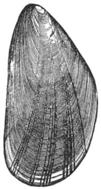 Common mussel, another bivalve