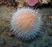 """Echinoderm literally means """"spiny skin"""", as this water melon sea urchin illustrates."""