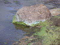 Green cyanobacteria scum washed up on a rock in California