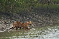 A Bengal tiger, the national animal, in the Sundarbans