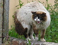 A domestic cat's arched back, raised fur and an open-mouthed hiss are signs of aggression