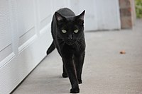 Some cultures are superstitious about black cats, ascribing either good or bad luck to them.