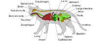 Diagram of the general anatomy of a male domestic cat