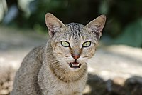 Vocalizing domestic cat
