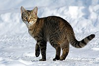 A Tabby cat in snowy weather
