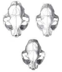 Skulls of a wildcat (top left), a housecat (top right), and a hybrid between the two (bottom centre)