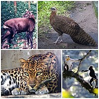 Native species in Vietnam, clockwise from top-right: crested argus, a peafowl, red-shanked douc, Indochinese leopard, saola.